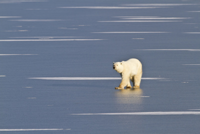 Polar Bear on a Frozen Pond Churchill Wildlife Area, Churchill, Mb Photographic Print by Richard ans Susan Day