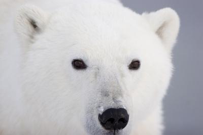 Polar Bear, Churchill, Mb Photographic Print by Richard ans Susan Day