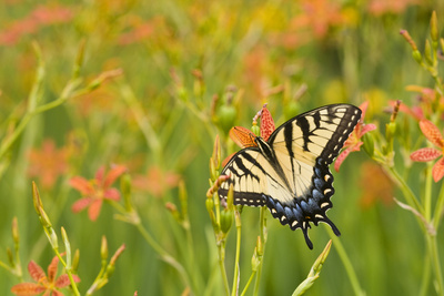 Eastern Tiger Swallowtail on Blackberry Lily, Marion Co. Il Photographic Print by Richard ans Susan Day