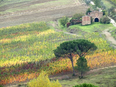 Italy, Tuscany. Vineyard and Trees in the Chianti Region Photographic Print by Julie Eggers