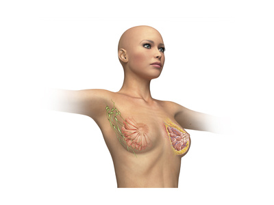 Woman Torso with Breast Cutaway, Cross Section Art!