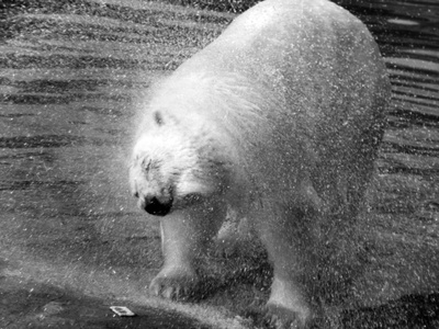 Polar Bear Shaking! Photographic Print