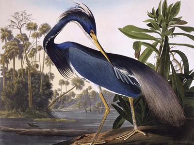Louisiana Heron Premium Giclee Print by John James Audubon