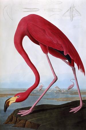 American Flamingo Giclee Print by John James Audubon