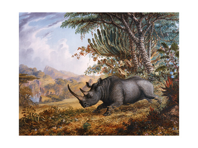 The Black Rhinoceros Charging Giclee Print by Thomas Baines