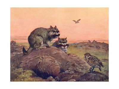 Animal, Vizcacha 1909 Premium Giclee Print by Winifred Austen