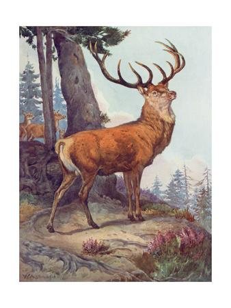 Red Deer, Austen, 1908 Premium Giclee Print by Winifred Austen