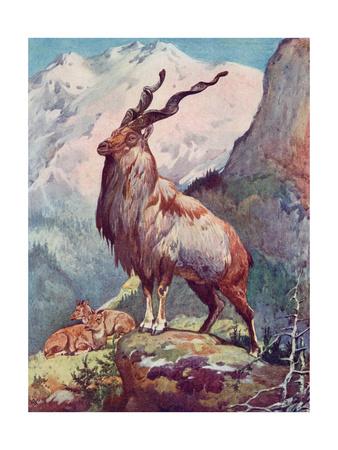 Goat, Markhor 1909 Premium Giclee Print by Winifred Austen