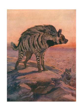 Hyena, Striped 1909 Premium Giclee Print by Winifred Austen