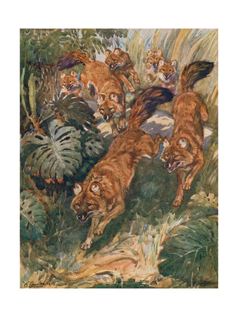 Indian Dhole Premium Giclee Print by Winifred Austen