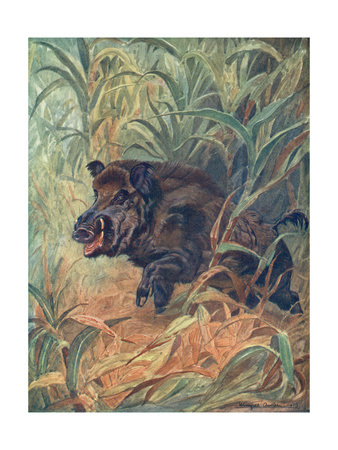 Pig, Wild Boar Indian Premium Giclee Print by Winifred Austen