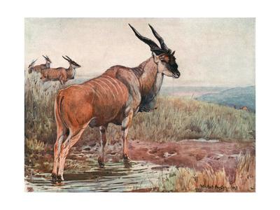 Eland, Wild Beasts of Wld Premium Giclee Print by Winifred Austen