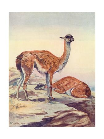 Llama, Guanaco 1909 Premium Giclee Print by Winifred Austen