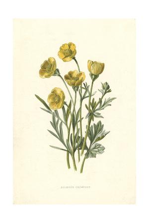 Ranunculus Bulbosus Giclee Print by F Edward Hulme