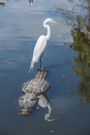 USA, Florida, Orlando, Egret Riding on Alligator, Gatorland Photographic Print by Lisa S. Engelbrecht