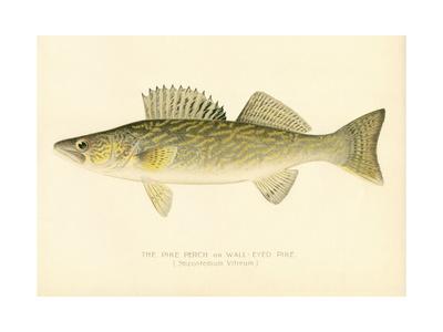 Pike Perch Giclee Print