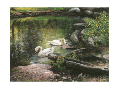 Swan Song Giclee Print by Kevin Dodds