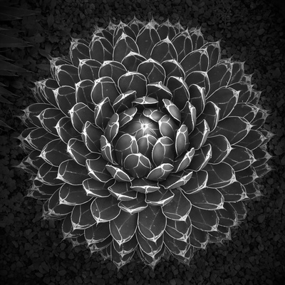Agave Victoria Photographic Print by Moises Levy