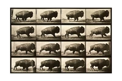Buffalo Running, Animal Locomotion Plate 700 Photographic Print