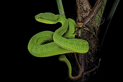 Trimeresurus Albolabris (White-Lipped Tree Viper) Photographic Print by Paul Starosta