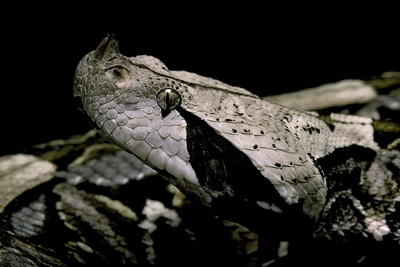 Bitis Gabonica (Gaboon Viper) Photographic Print by Paul Starosta