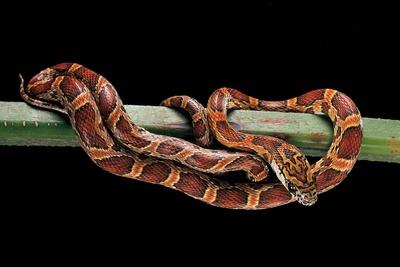 Elaphe Guttata Guttata (Corn Snake) Photographic Print by Paul Starosta