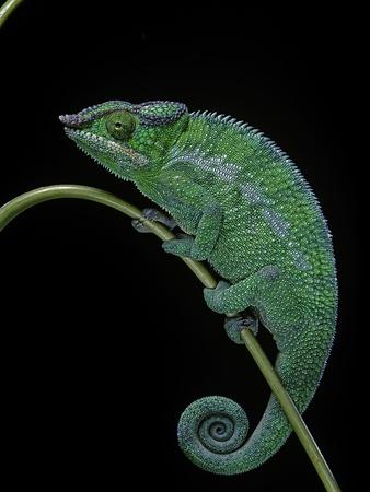 Chamaeleo Pardalis (Panther Chameleon) Photographic Print by Paul Starosta