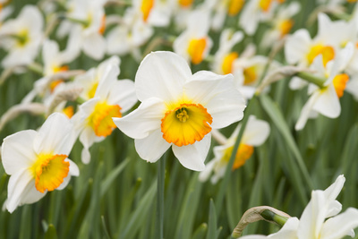 Flowerdrift Narcissus Photographic Print by Mark Bolton