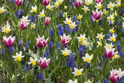Mixed Tulips and Grape Hyacinth Photographic Print by Mark Bolton
