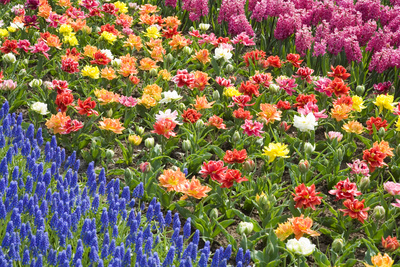 Rows of Flowers in Keukenhof Gardens Photographic Print by Mark Bolton