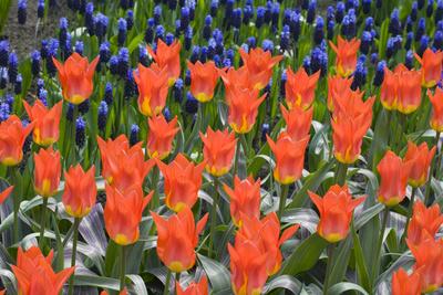 Juan Tulips Photographic Print by Mark Bolton