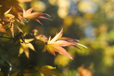 Japanese Maple Leaves in Autumn Photographic Print by Mark Bolton