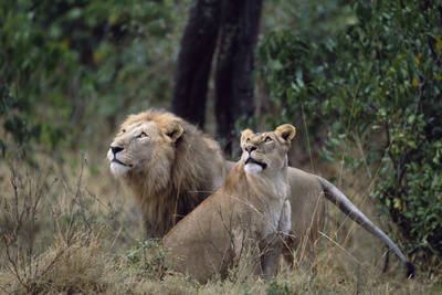 Lion and Lioness Watching Birds Fotografisk tryk af Momatiuk - Eastcott