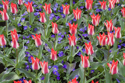 Variegated Plaisir Tulips and Blue Star Anemone Photographic Print by Mark Bolton