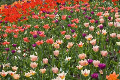 Tulips in Keukenhof Gardens Photographic Print by Mark Bolton