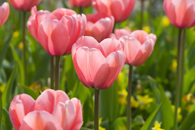 Pink Impression Tulips Photographic Print by Mark Bolton