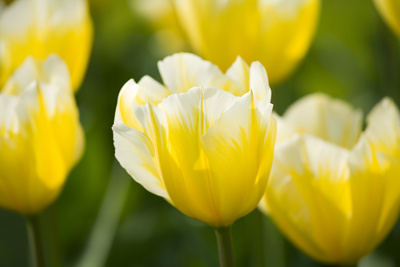 Sweetheart Tulips Photographic Print by Mark Bolton