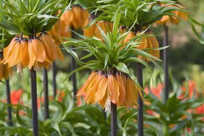 Orange Bloms Orange Perfection Fritillaria Imperialis Photographic Print by Mark Bolton