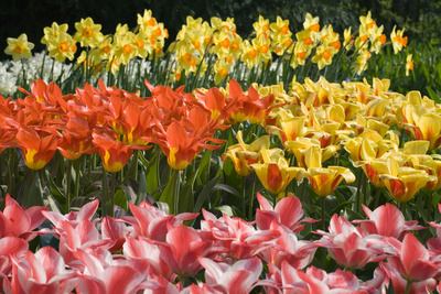 Czar Peter and Juan Tulips Photographic Print by Mark Bolton