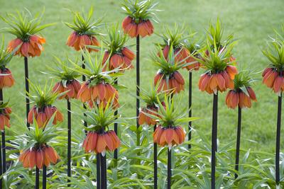Orange Mozart Fritillaria Imperialis Photographic Print by Mark Bolton