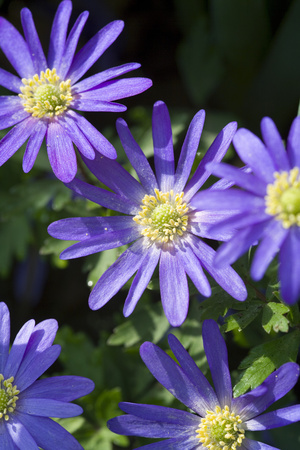 Blue Star Anemone Photographic Print by Mark Bolton