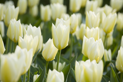 Purissima Tulips Photographic Print by Mark Bolton