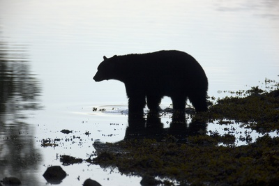 Black Bear Looking for Coho Salmon in Sea Photographic Print by Momatiuk - Eastcott