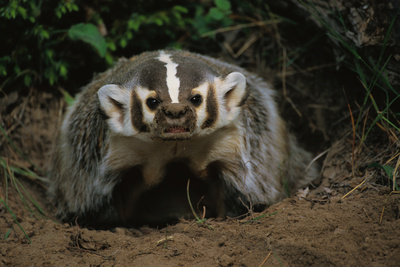 Snarling Badger at Den Opening Photographic Print by W. Perry Conway