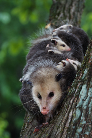 American Opossum with Young Photographic Print by W. Perry Conway