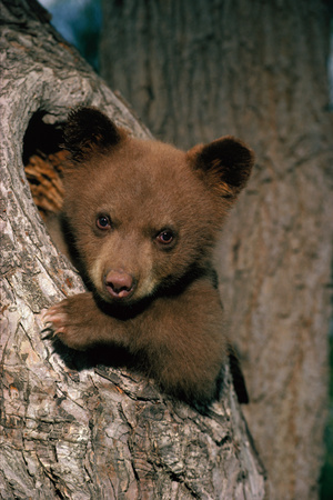 Black Bear Cub in Tree Photographic Print by W. Perry Conway