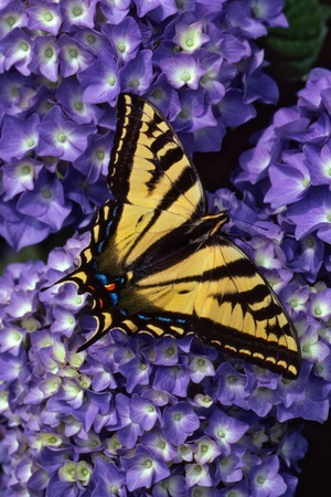 Tiger Swallowtail Butterfly Photographic Print by Steve Terrill