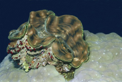 Fluted Giant Clam Photographic Print by Hal Beral