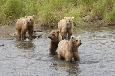Brown(Grizzly) Bear Mother and Two Year Old Cubs Photographic Print by Hal Beral