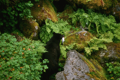 Black Bear in the Bushes Photographic Print by W. Perry Conway